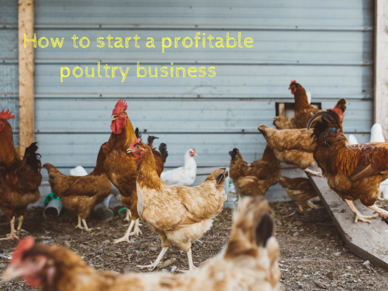 How to start a profitable poultry business | Money  Making